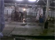 Inside the Karantina Slaughterhouse